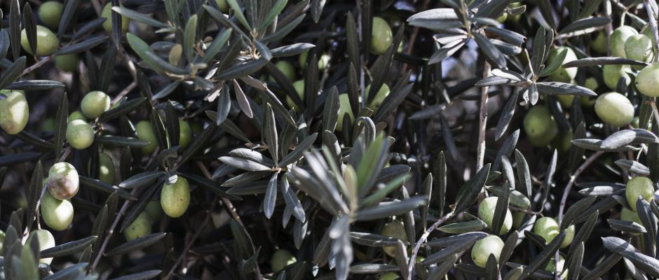 Olive-Particolare-e1416653762979